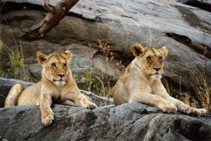 Leeuwen-in-Serengeti