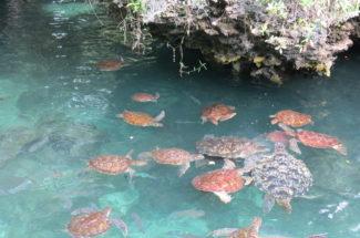 Schildpadjes Zanzibar